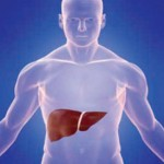 Study Human liver outside the body can be kept alive