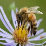 European Union bans bee-killing pesticides