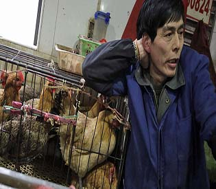 human rights observers new findings new bird flu directly jumps