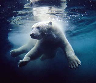 human rights observers - san diego zoo local advantages resident of polar bears environment1