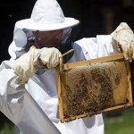 Sugar-craving Honeybees trained in Croatia to find land mines