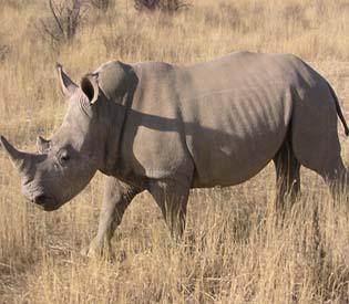 hromedia - Rhino horn poaching hits new record in South Africa