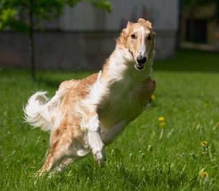 Borzoi running on the grass