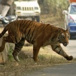 Man-eating tiger claims 10th victim in India