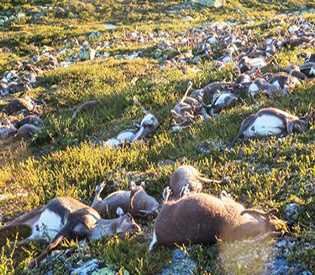 More than 300 reindeer killed by lightning in Norway