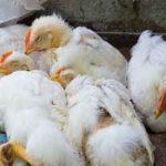 Japan culling 330,000 birds to fight avian flu