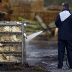 Dutch kill 190,000 ducks to contain bird flu outbreak