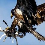 French military training eagles to take down terrorist drones